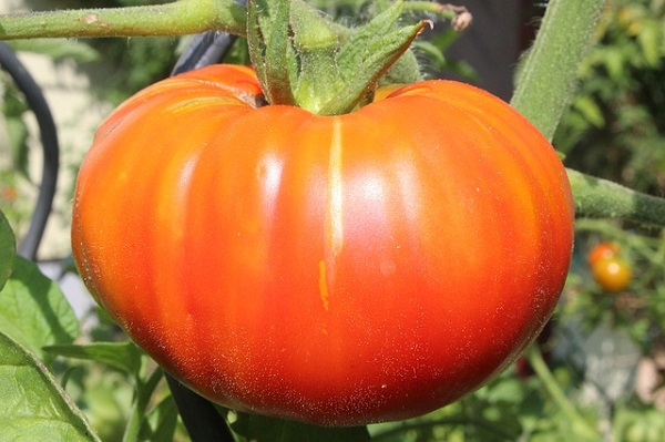 Beefsteak tomatoes are the largest variety and contain more of everything.