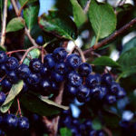 Aronia Berry – What It Can Do For You