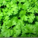 Ten Health Benefits Of Parsley Herb