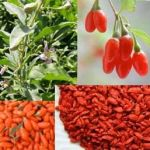 Goji Berry Benefits