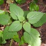 Stinging Nettle Herbal Uses