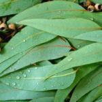The Many Eucalyptus Uses