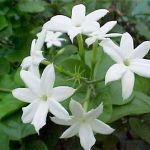 Jasmine Health Benefits