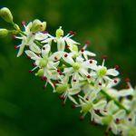 Shatavari – Female Fertility Herb