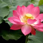 Indian Lotus and Weight Loss