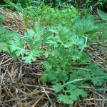 Treat Parasites With Wormwood