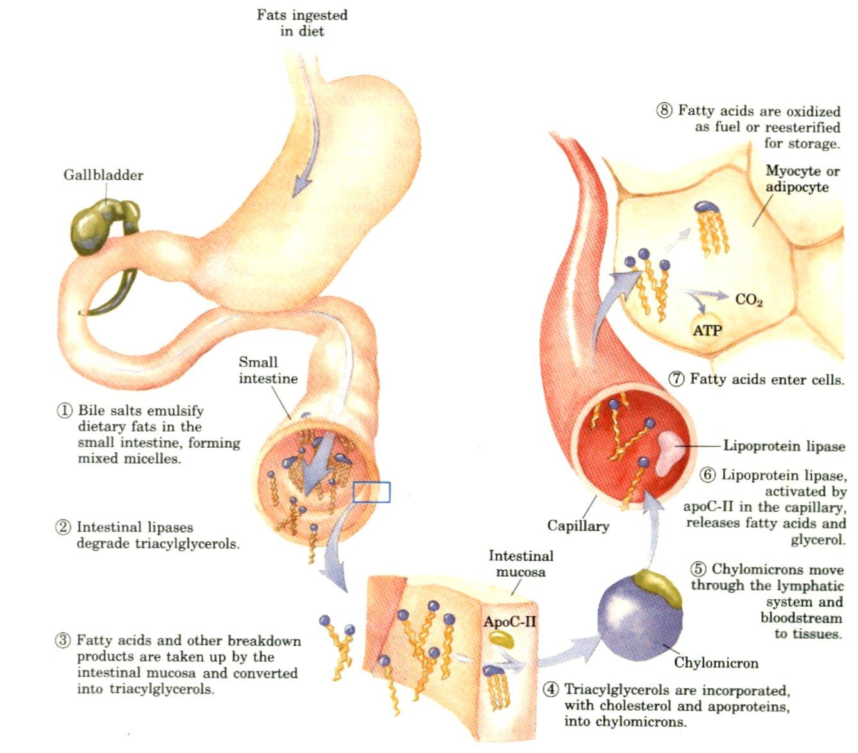 fat-digestion
