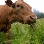 "Do Not Buy ""Grass Fed"" Beef Without Reading This First…"