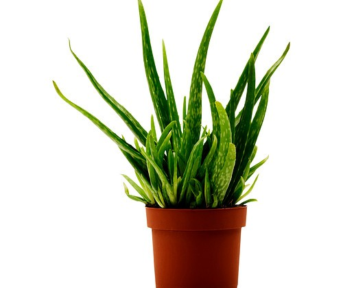 aloe-vera-potted-plant