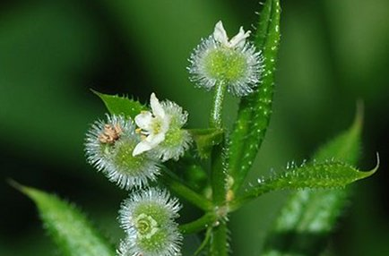 Cleavers: Best Herb to Stimulate Your Lymphatic System