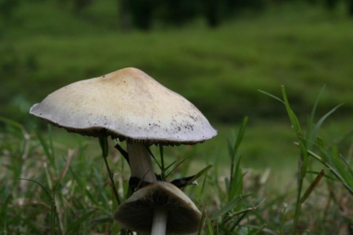 Photo: Psilocybin mushrooms. By Carlos Lozano Boone.