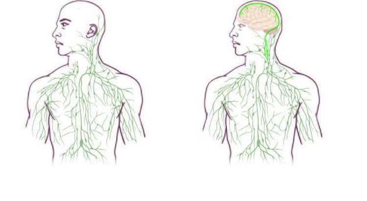 Maps of the lymphatic system: old (left) and updated to reflect UVA's discovery. Image credit: University of Virginia Health System.