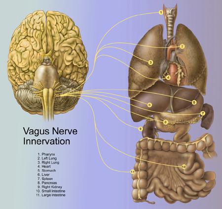 vagus-nerve-innervation