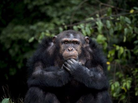 Chimpanzees have type A and type O blood.