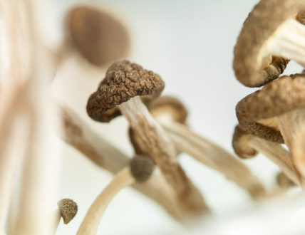 Psilocybin Mushrooms Rebuilding Damaged Brains