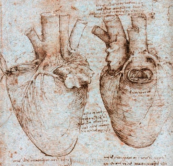 Cardiac anatomy as drawn by Leonardo Da Vinci.