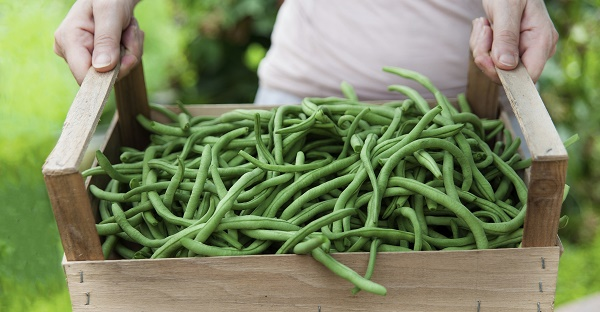 Green bean harvest. Image via iStock.