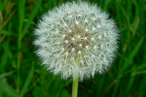 The Surprising Benefits and Risks of Dandelion