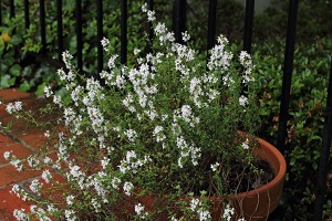 Health Benefits of Thyme: Makes a great houseplant
