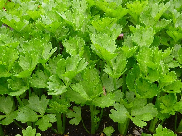 You may be using celery stalks regularly to make soups and other dishes.