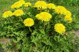 The health benefits of dandelion