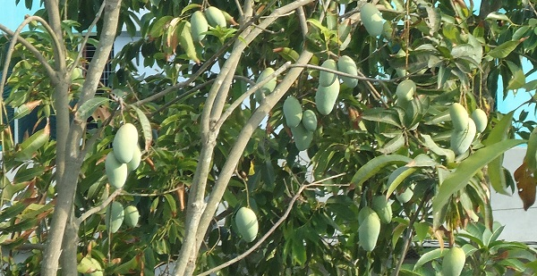 Mango Facts and Benefits