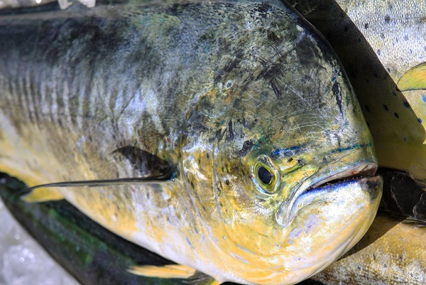 Mahi-mahi: One of the 5 Best Fish to Eat