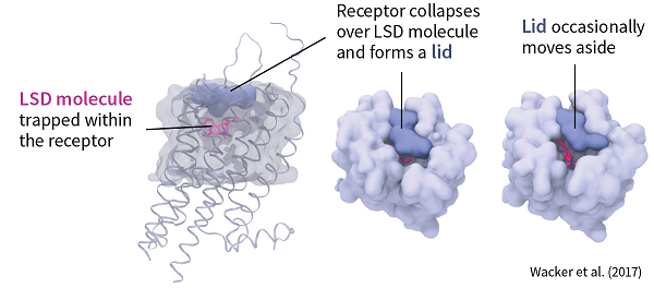 As long as the LSD molecule is trapped within the receptor, it causes the receptor to send off signals