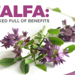 Alfalfa: All You Need To Know About This Healing Herb