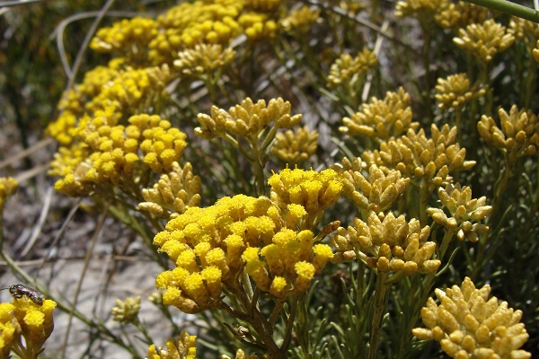 Helichrysum is a medicinal plant with powerful antioxidant and anti-inflammatory properties.