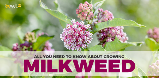 Why You Need to Start Growing Milkweed Right Now