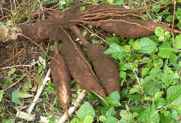 2019 Superfoods - Cassava Root